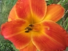 a favorite late daylily