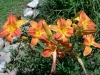 7 blooms on daylily Burnt Sienna