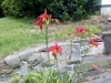 My daylily bed - lower part