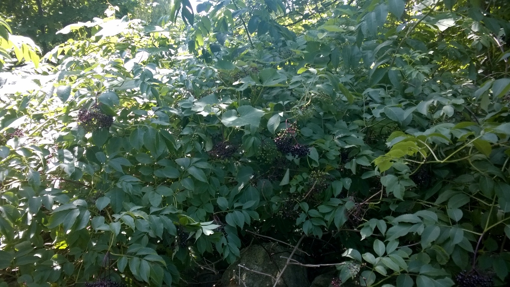 The elderberry patch