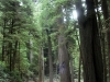 in the redwoods